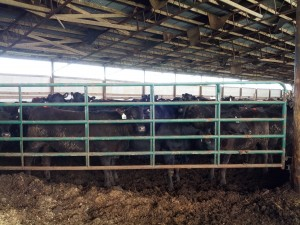 Heifers at Sexing Technologies